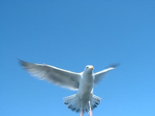 Herring Gull Brighton (my photo)