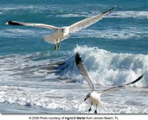 Gulls in their natural home