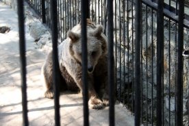 Bear in the cage