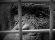 chimp-behind-bars1