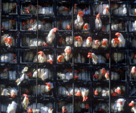 hens_cages_stacked_