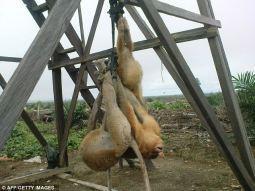 orangutans-hang-from-wooden-tower-palm-oil-plantation-east-kalimantan--_t33d